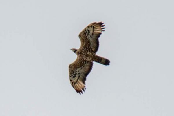 Oriental honey-buzzard